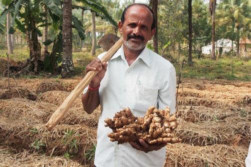 Ingwerernte in Indien