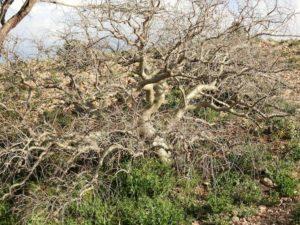 Commiphora myrrha zur Erntezeit der Gummiharze